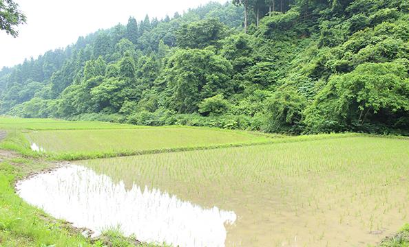 昔ながらの自然栽培にチャレンジ! 美味しいお米ができました